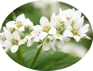 Buckwheat flower produces seeds which we can use in gluten free cooking